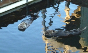 These sea otters were hanging around our slip in Monterey. I remember traveling many miles on the out side of Vancouver Island just to catch a glimpse. Now they're pestering us.