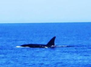 We had an orca escort crossing the sea from Baja.
