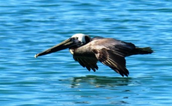 The Pelicans skim inches above the water riding on a cushion of air for amazingly long distances.