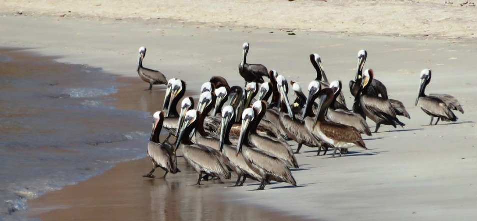 Pelicans at Salinas getting ready for breakfast.