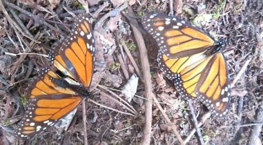 These monarchs are missing the part of their body that isn't toxic to feeding birds. Their propensity to feed on noxious milkweed makes them poisonous to predators (mostly that is).