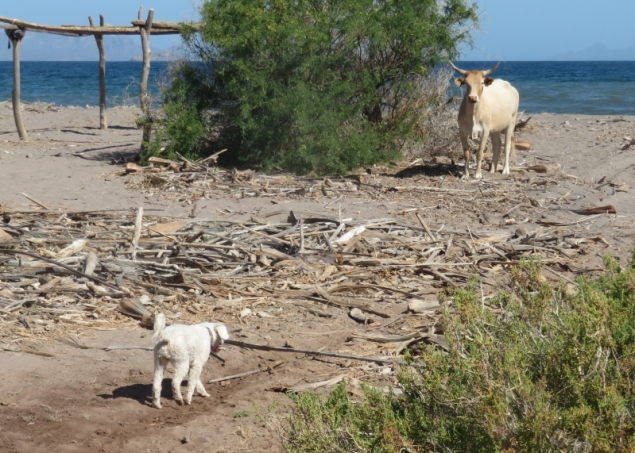 Lucy stalks a longhorn on the beach at Aqua Verde. Of course she chickened out immediately.