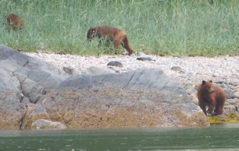 These brown bear liked to hang out on the beach next to where we were anchored in Tracy Cove.