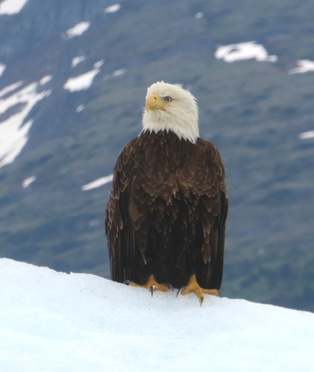 This eagle had staked out the tallest ice berg around for scoping the food prospects.