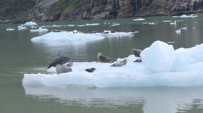 We tried not to disturb the many seals lounging on bergy bits as we picked our way toward the Sawyer Glacier.