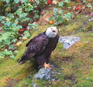 At Anan Creek, the Eagles often score leftovers from the bear fishing frenzy.